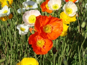 Alpine poppies Paris 02