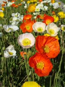 Alpine poppies Paris 03