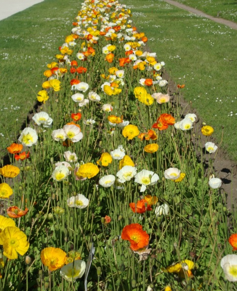 Flowers alpine poppies Paris
