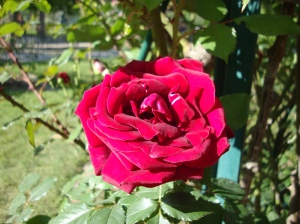 flowers-paris-rose-02